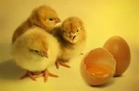 poultry farm meat dist - 3