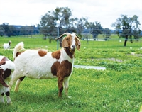 42-acre working goat dairy - 1